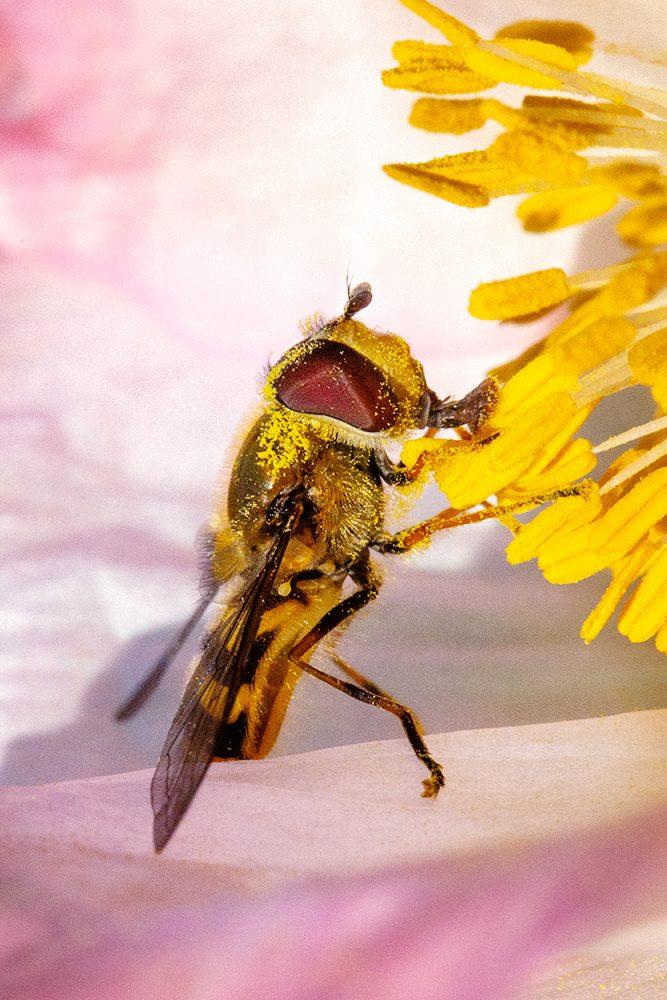 Blomfluga på vallmo