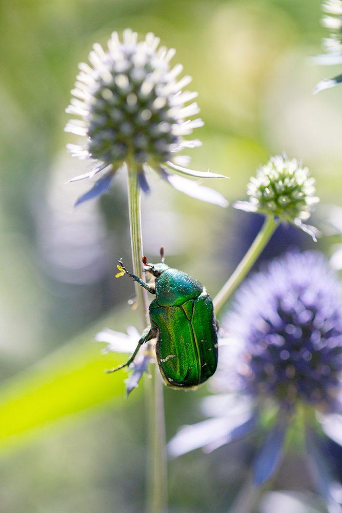 Gräsgrön guldbagge på bolltistel