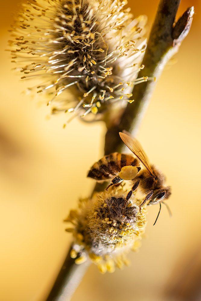 Honungsbi på sälg