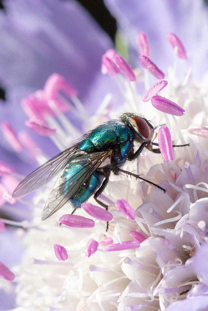 Spyfluga på vädd